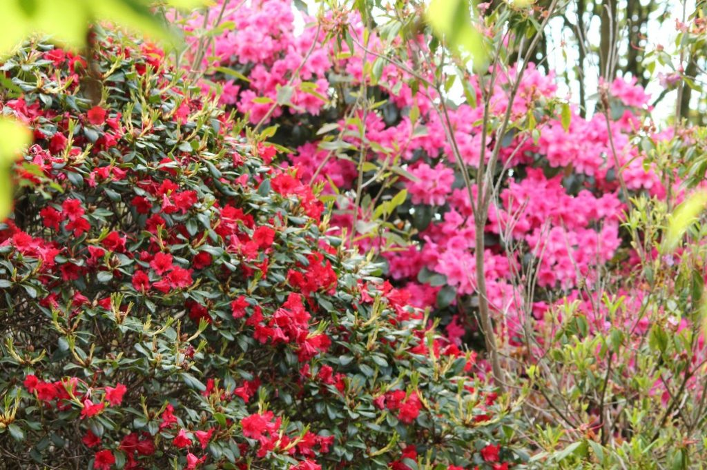 Rhododendrons at Glenwhan Gardens