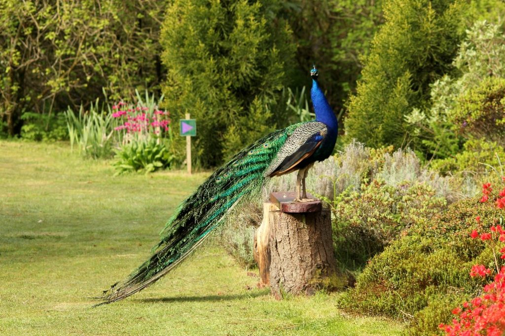 Percy Peacock in his Sping finery at Glenwhan Gardens